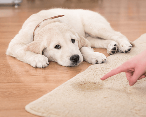 Pet Stain Cleaning in Brooklyn